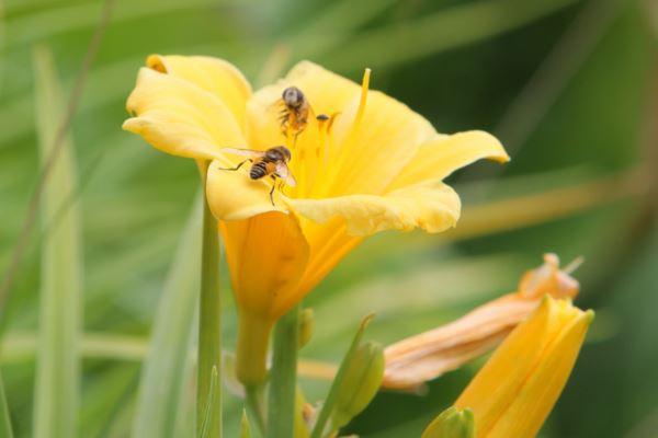 bičių pienelis gydant hipertenziją