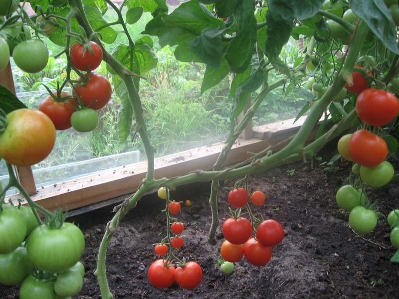 pomidorai ir hipertenzija