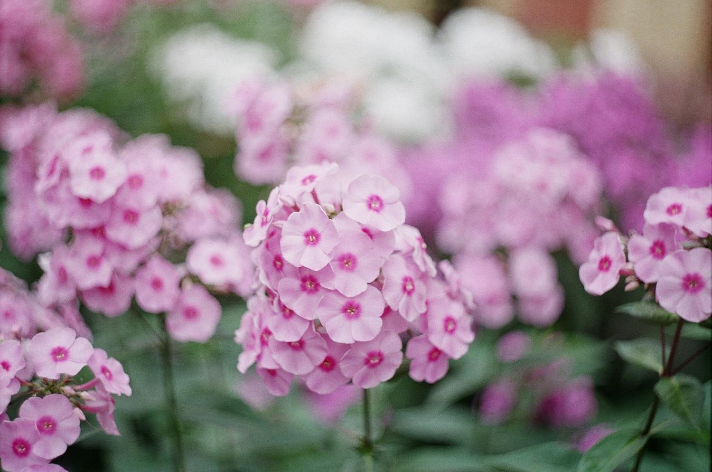 irgi gėlės nuo hipertenzijos hipertenzija 3 laipsniai kokio slėgio