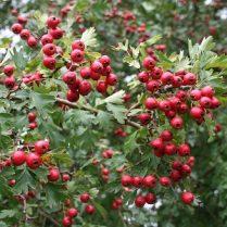 receptas su gudobelių vaisiais nuo hipertenzijos)