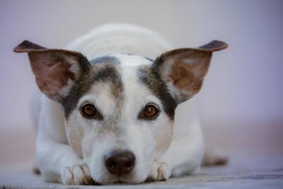 hipertenzijos simptomai šuniui