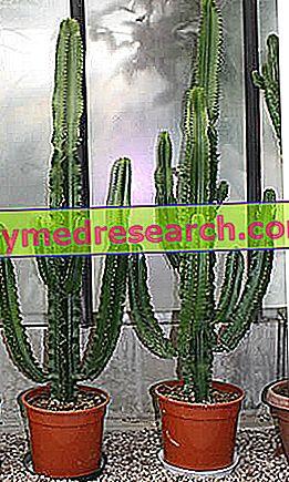 Kur statyti kaktusą | jusukalve.lt