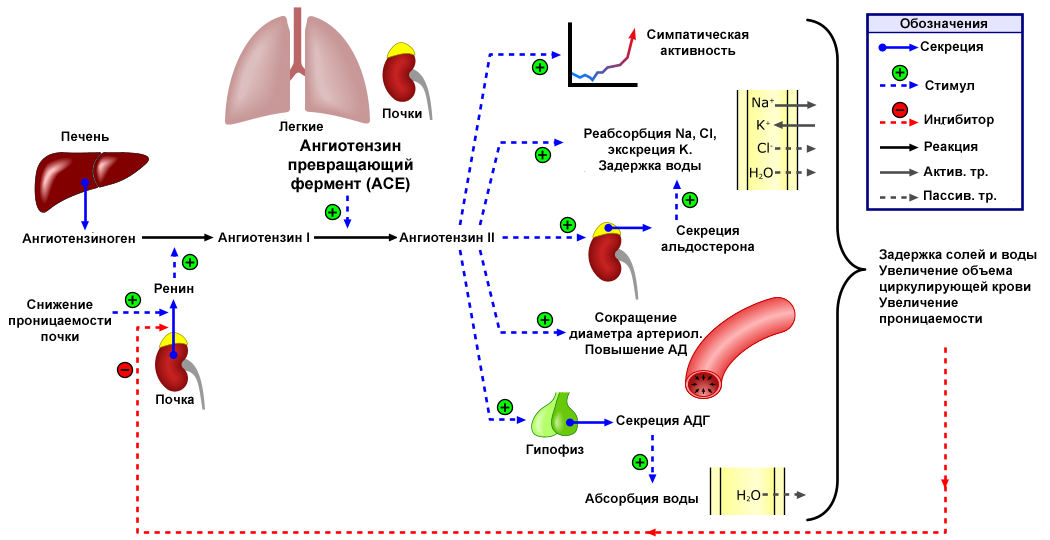 hipertenzija 3 laipsnio laipsnis arg 3)