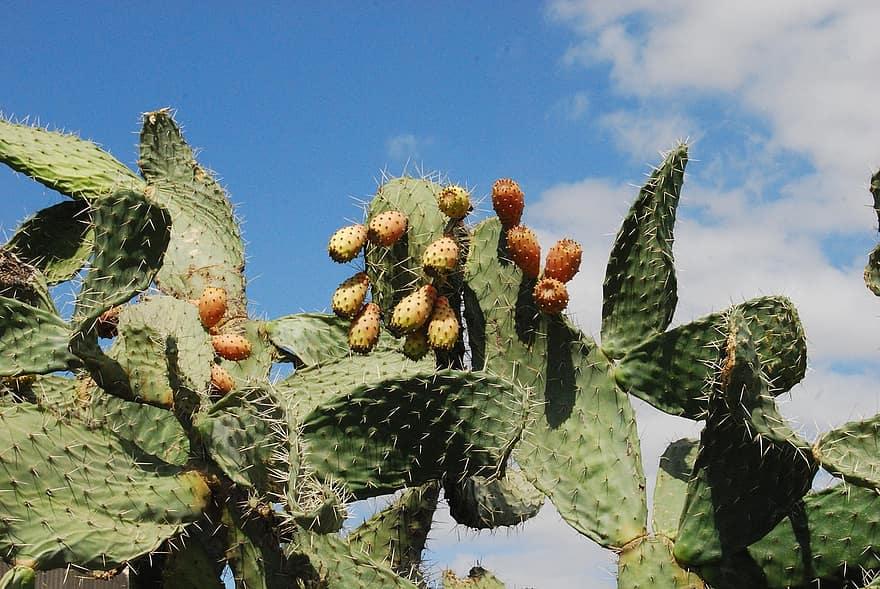 kaktuso širdies sveikata)