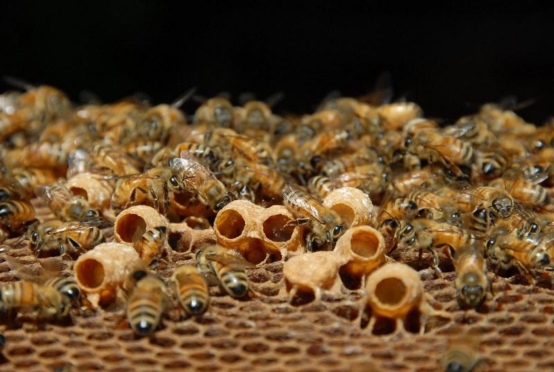 bičių pienelis gydant hipertenziją)