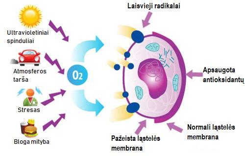 Antioksidantai išsaugo arterijų sveikatą - Temos - Ligos, sveikata, vaistai - jusukalve.lt
