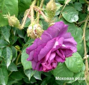 Rožių klubai - Arbata