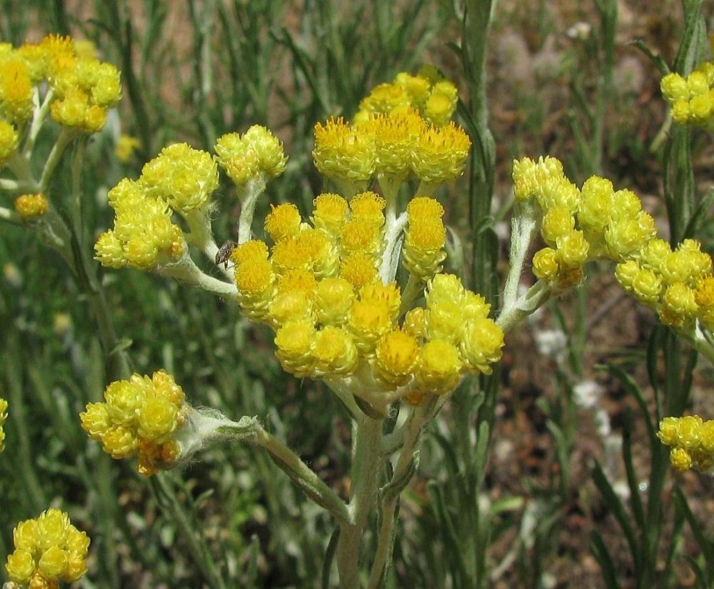 vaistinis augalas, vartojamas inkstų hipertenzijai gydyti