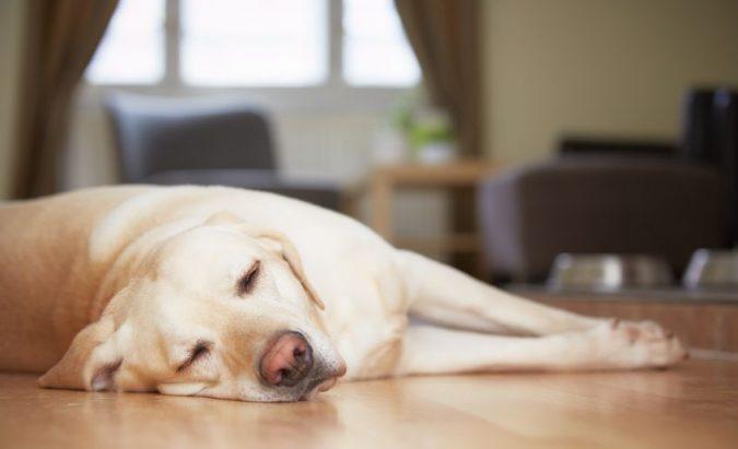Hipertenzija ar didelis kraujospūdis šunims - Naminių patarimų