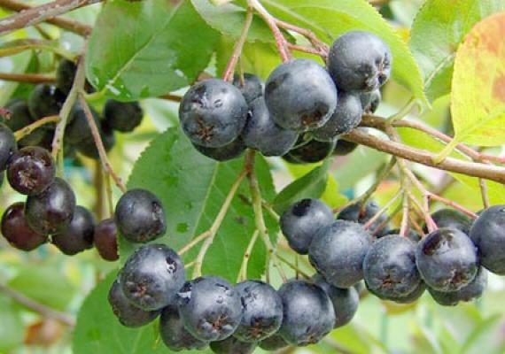 Juodvaisių aronijų vaisiai | jusukalve.lt