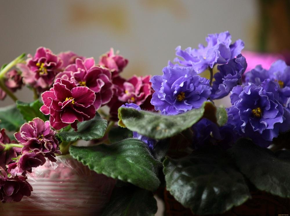 irgi gėlės nuo hipertenzijos