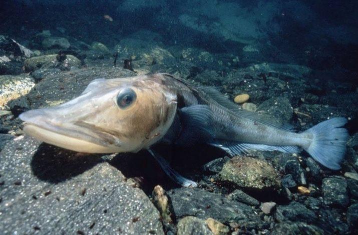 valgant žuvis su hipertenzija)